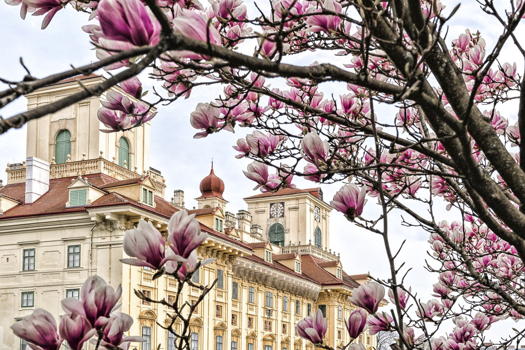 Blooming magnolias in front of Esterházy Palace